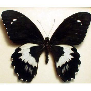 Real Framed Giant Papilio Butterfly Conservation Display 6327