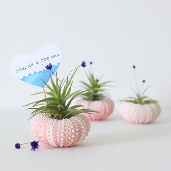 Pink Urchin Air Plant Planter with Air Plant, flowers and card. Gift wrap included.