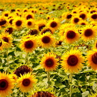 Sunflowers - Loire Valley, France Art Print by Giulia Photos