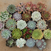 "12 Mixed Sizes Succulents (6)  2"" and (6) 2.5""  containers Ideal for Wedding favors party gifts Echeverias"