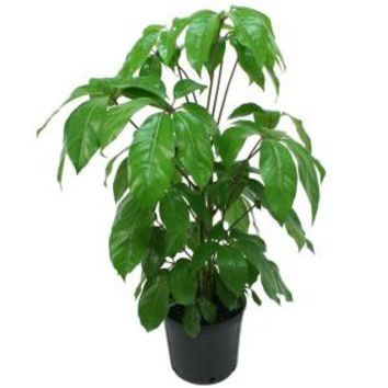 Delray Plants, 8-3/4 in. Schefflera Amate in Pot, 10SCHEFF at The Home Depot - Mobile