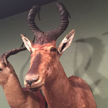 Hartebeest Taxidermy Mount
