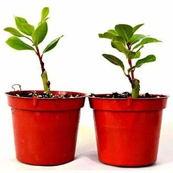 TWO Bay Laurel plants - Bay Leaf - GREAT HERB four inch