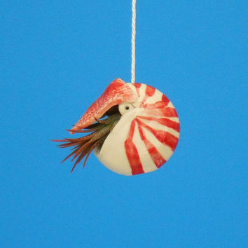 Small Nautilus,   Hanging Air Planter, Whimsical Gift. Ornament
