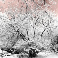 Winter Nature Scene of snow covered trees fine art landscape photography 10 x 8 print surreal scene blush pink dawn sky
