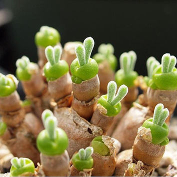 100 Pitt Aura Rabbit Bunnies Succulent Seeds | Cactus Plant Rarest String of Pearls - Monilaria Moniliformis - Exotic Mesembs Seeds