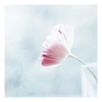 Fine art photography. Delicate pastel pink Poppy. Flower Pale Blue azure decor. Minimalist. Girly. Still Life. Nature. Dreamy White color