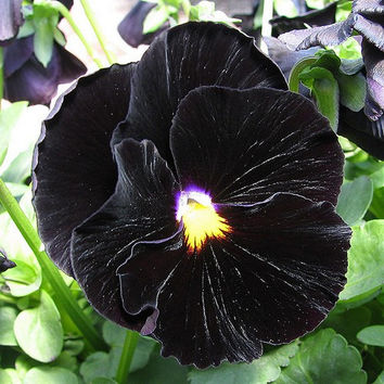 Pansy Black Flower Seeds (Viola x Wittrockiana) 50+Seeds