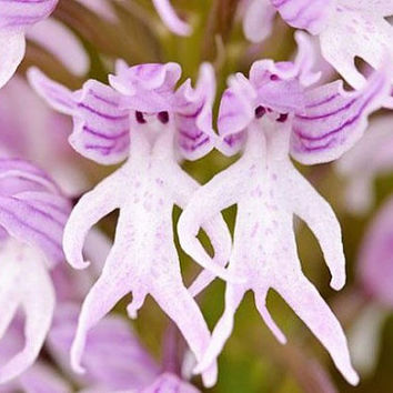 100 Dancing Naked Man Orchid Seeds| Hanging Italica Italian Body Pyramid Monkey Orchis | Home Garden Decor Plants Grow Heirloom Penerials