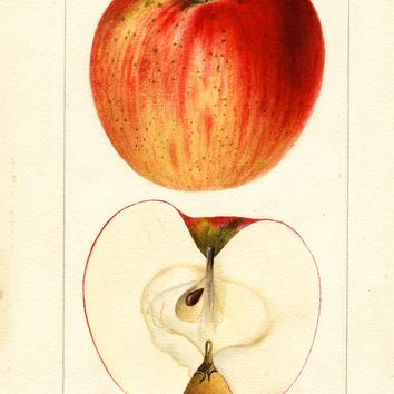 Apples, Early Melon (1895)