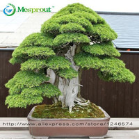 Bonsai seeds 30 pcs Japanese Red Cedar - Cryptomeria japonica seeds -
