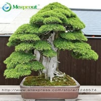 Bonsai seeds 30 pcs Japanese Red Cedar - Cryptomeria japonica seeds - Bonsai Tree Evergreen Bonsai Home gardening,