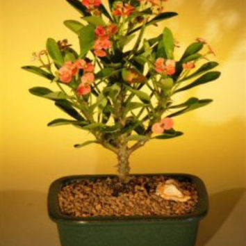 Flowering Crown of Thorns Bonsai Tree - Red / Salmon(euphorbia milii)