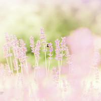 Lavender 8 by Andrea Anderegg Photography