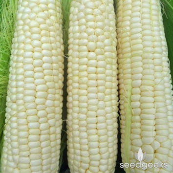 Hickory King Yellow Dent Corn Heirloom Seeds - Non-GMO, Open Pollinated, Untreated