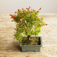 Pomegranate Bonsai - VivaTerra