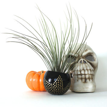 Air Plant Planter with Air Plant -  Black & Gold Dotted Chevrons