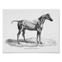 Retro horse muscle anatomy picture poster