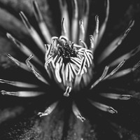 Flower universe - BW Art Print by HappyMelvin Protanopia
