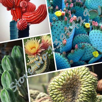 100pcs Fairy Succulents Seeds,(3 bag lithop seeds + GIFTS) anti-Radiation,Imported cactus hybrid bonsai seeds, DIY home garden