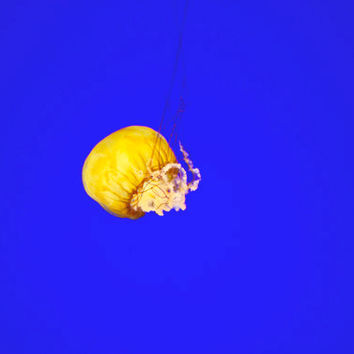 SALE Bright Blue Jelly Fish Photograph, Nature Art, Minimalist Photography, Negative Space, Yellow Jelly Fish, Landscape Photograph