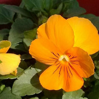 Pansy Gold Flower Seeds (Viola x Wittrockiana) 50+Seeds