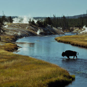 Fine Art Landscape Print - Yellowstone Bison in River Nature Rustic Scene - Wall Art Home Decor 8 x 10