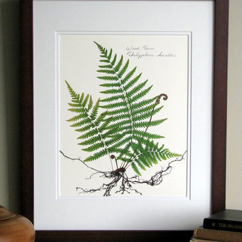 Pressed fern print, 11x14 double matted, wood fern study with roots, fiddlehead ferns botanical, wall decor no. 0070