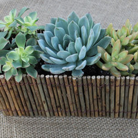 """Succulent Natural Twig Wedding 12"""" Centerpiece with 3 Succulents potted in 4"""" containers"""