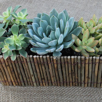 "Succulent Natural Twig Wedding 12"" Centerpiece with 3 Succulents potted in 4"" containers"