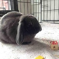 Dedham, MA - Mini Lop. Meet TWINKLE a Pet for Adoption.