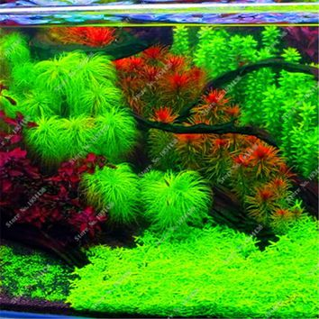 2016 New 1000 Aquarium Plant Seeds Pine Tree Semillas De Plantas Raras Fish Tank Aquatic Plant Indoor Ornamental Sale