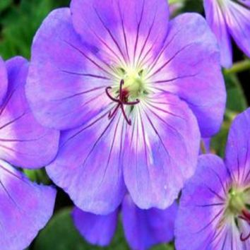 OnlinePlantCenter, 1 gal. Rozanne Geranium Plant, G587CL at The Home Depot - Mobile