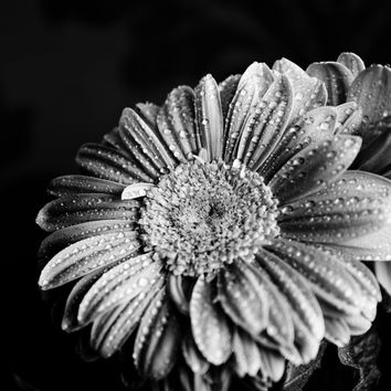 Gerbera black and white Art Print by VanessaGF