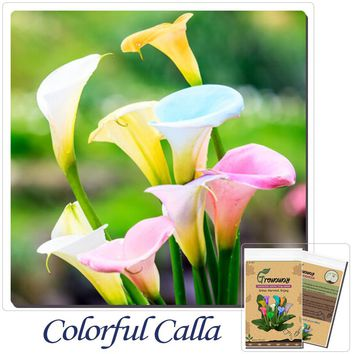 Flower Seeds Bonsai Colorful Calla Lily Seed Rare Plants Flowers Home Gardening DIY 100 Particles