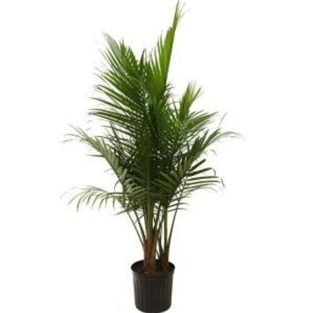 Delray Plants, Majesty Palm in 10 in. pot, 10MAJ at The Home Depot - Mobile