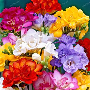 50 Pcs Freesia Seeds True Rare Orchid So Beautiful Bonsai Flower seeds Plant Potted Fresh Seeds Root Kid Gift
