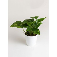 "LIVE 4"" Pothos Gold Indoor House Plant - Ships Alone"