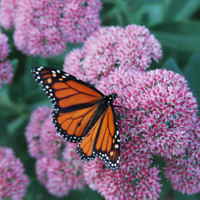 Monarch Butterfly, Digital Art Print, Flower Picture, Home Decor Ready to Frame Photo, Wall Hanging, Fall, Orange, Lilac, Purple, Landscape