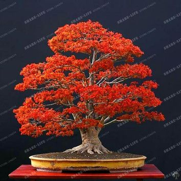 Hot Selling 10pcs Rare Red Oak Tree Seeds Bonsai Seeds Quercus Alba Acorns Seeds For DIY Home Garden Free Shipping