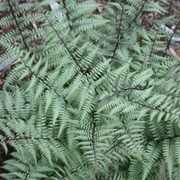 Athyrium 'Ghost', Lady Fern, Athyrium, buy Athyrium Ghost for sale, buy Lady Fern for sale