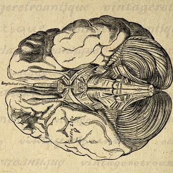 Brain Digital Printable Image Medical Diagram Graphic Anatomy Download Vintage Clip Art for Transfers etc HQ 300dpi No.112