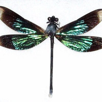 One Real Green Black Dragonfly Damselfly Mounted Packaged Insect Artwork Wholesale