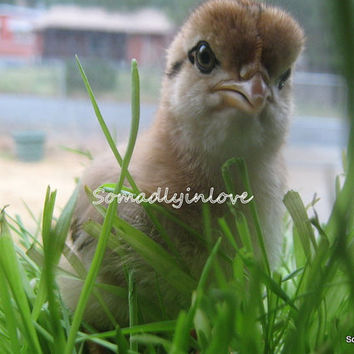 Digital Photograph Spring chick in the grass