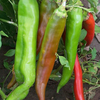 100 Super NuMex Big Jim Chili Pepper Seeds | Rare Exotic Organic Fruits Vegetable Seeds | Award Winning 12 + inches long! Home Garden Plants