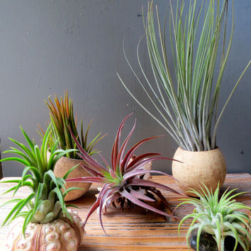 125 Unique Wedding Favors! Tillandsia Air Plant Display Collection: Five Air Plants in Natural Containers. An easy-to-care-for gift!