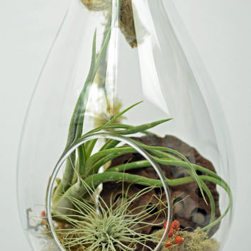 Airplant Terrarium - Air Plant Terrarium- Hanging Terrarium - Glass Terrarium - Holiday Decor - Green Gift