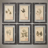 19th C. Framed Herbariums Black (Set of 6)