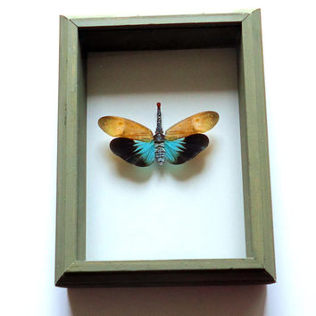 Mounted Laternfly - Pyrops pyrorhyncha - Framed insect  - insect display - real insect - shadow box - taxidermy - entomology