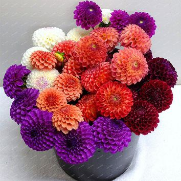 Rare Blue White Yellow Orange mixed colors Dahlia bulbs Chinese Bonsai Flower Seeds Planting for home & Garden 2PCS PACK